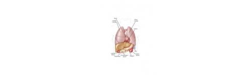 Nieren und Leber