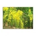 Senna - Sene (Cassia angustifolia) 250g