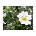 Hawthorn (Crataegus oxyacantha) 250g  Cardioprotective