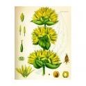 Gelber Enzian (Gentiana lutea)  Wurzeln  250g