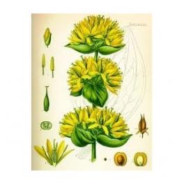 Bitterwort (Gentiana lutea) roots, 250g