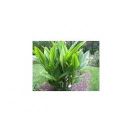 Zedoary - Zedoaria (Curcuma zedoaria)  250g