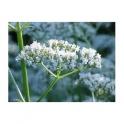 Valerian (Valeriana officinalis) 250g