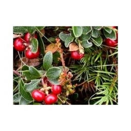 Bearberry -( Arctostaphylus uva ursi)  250g