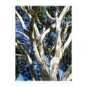 Apuleia Ferrea (Pau ferro) bark 250g
