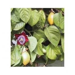 Passion fruit - Maracuja - (Passiflora edulis)  250g leafs