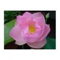 Pink Lotus (Nelumbo nucifera) roots 250g