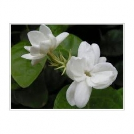Jessamine (Jasminum officinale)  Flower  250g