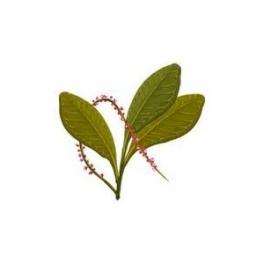 Pilocarpus jaborandi (Jaborandi) leafs 250g