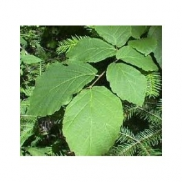 Witch hazel (Hamamelis virginiana) 250g leafs