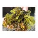 Bladderwrack  (Fucus vesiculosos) 250g