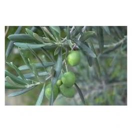 Olive leafs (olea europaea) 250g