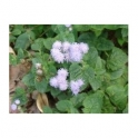 Ageratum conyzoides L. , Liverbalsam  250g