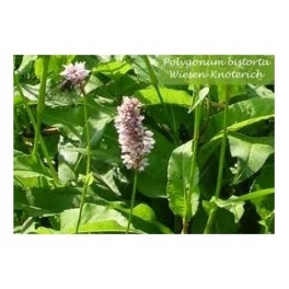 Knotweed (Polygonum) 250g