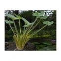 Echinodorus grandiflorus  (Chapeu de couro)  250g