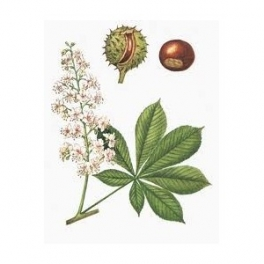 Aesculus Hippocastanum (Castanha da India)  seed 250g