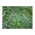 Casearia sylvestris (Guacatonga - Cha de Bugre) 250g