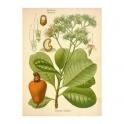 Cashew - (Anacardium occidentale) Cajueiro- bark 250g