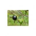 Belladonna (Atropa belladona L)  leafs 250g