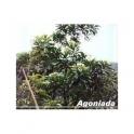 Plumeria lancifolia  (Agoniada)  250g