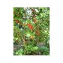 Myrcia sphaerocarpa (Pedra ume caa)  vegetal insuline 250g