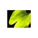 Bauhinia fortificata (Pata de Vaca) Anti diabetes tea  100g