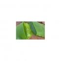 Aloe Vera - (Babosa) -  Urtinktur  125ml