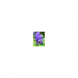 Aconitum napellus Mother tincture  125ml