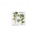 Abrotanum  (Artemisia abrotanum L).  Mother tincture 125 ml