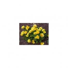 Adonis vernalis  Mother tincture 125 ml