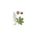 Aesculus Mother tincture 125ml