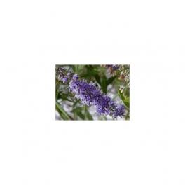 AGNUS CASTUS Mother tincture  125ml