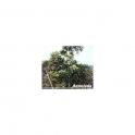 Agoniada  (Plumeria lancifolia) Urtinktur 125ml