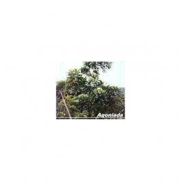 Agoniada (Plumeria lancifolia) Mother tincture 125ml
