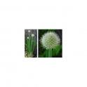 Allium cepa  Mother tincture 125ml