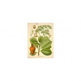 Anacardium occidentale , Cashew, Mother tincture 125ml