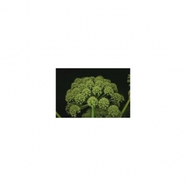 Angelica archangelica , Mother tincture, 125ml