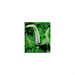 Black Cohosh, (Cimicifuga racemosa), Mother tincture, 125 ml