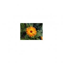 Calendula officinalis Mother tincture 125ml