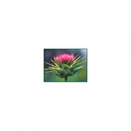 Carduus Marianus - Milkthistle - Mother tincture 125ml