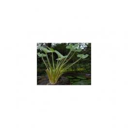 Echinodorus grandiflorus, Chapeu de couro, Mother tincture 125ml