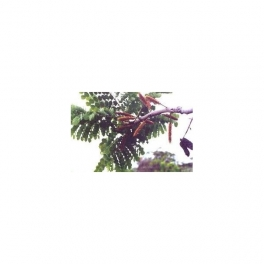 Stryphnodendron barbatiman (Barbatimao) Mother tincture 125ml