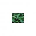 Rhamnus purshiana  (Cascara sagrada)  Mother tincture 125ml