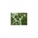 CRATAEGUS (Whitethorn) Mother tincure 125ml