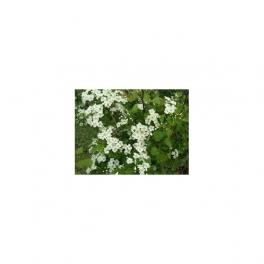 CRATAEGUS (Whitethorn) Mother tincure 125ml
