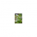 Drymis winterii (Winterrinde - Casca d Anta) Urtinktur 125ml