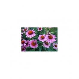 Echinacea purpurea (Equinacea)  Mother tincture 125ml