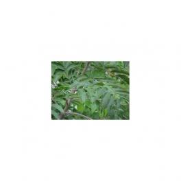 Casearia sylvestris (Guacatonga - Cha de Bugre) Mother tincture 125ml