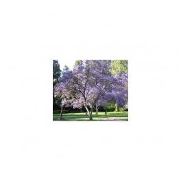 JACARANDA CAROBA , Brazilian Caroba-tree, (Carobinha) Mother tincture 125ml