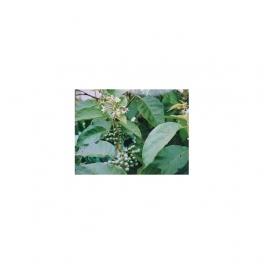 Solanum paniculatum (Jurubeba ) Mother tincture 125ml